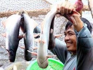 Niềm vui của người dân khi thu hoạch cá tra - Ảnh Internet
